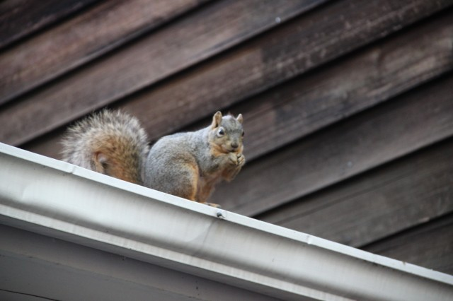 5 Ways New Englanders Keep Squirrels Out Of Chimneys And