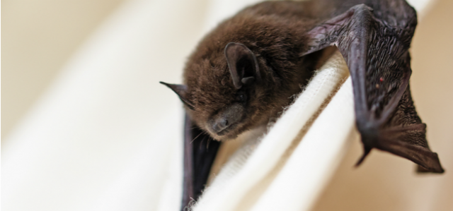 What To Do When You Find A Bat In Your House