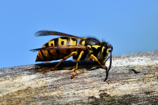 Spot The Stinger: How To Distinguish Wasps From Hornets