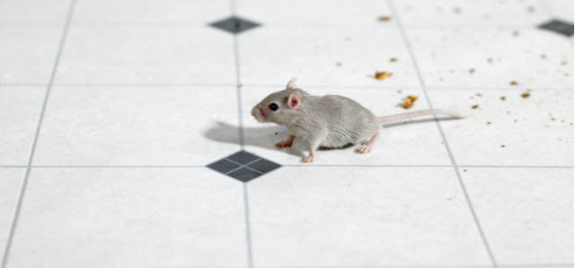 Spot Signs of Mice In Your Restaurant (Before Your Customers ...