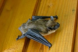 Bat Exclusion Guidelines For Your Home Or Business