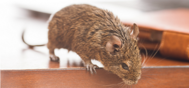 Your Urban Office Building Probably Has Mice