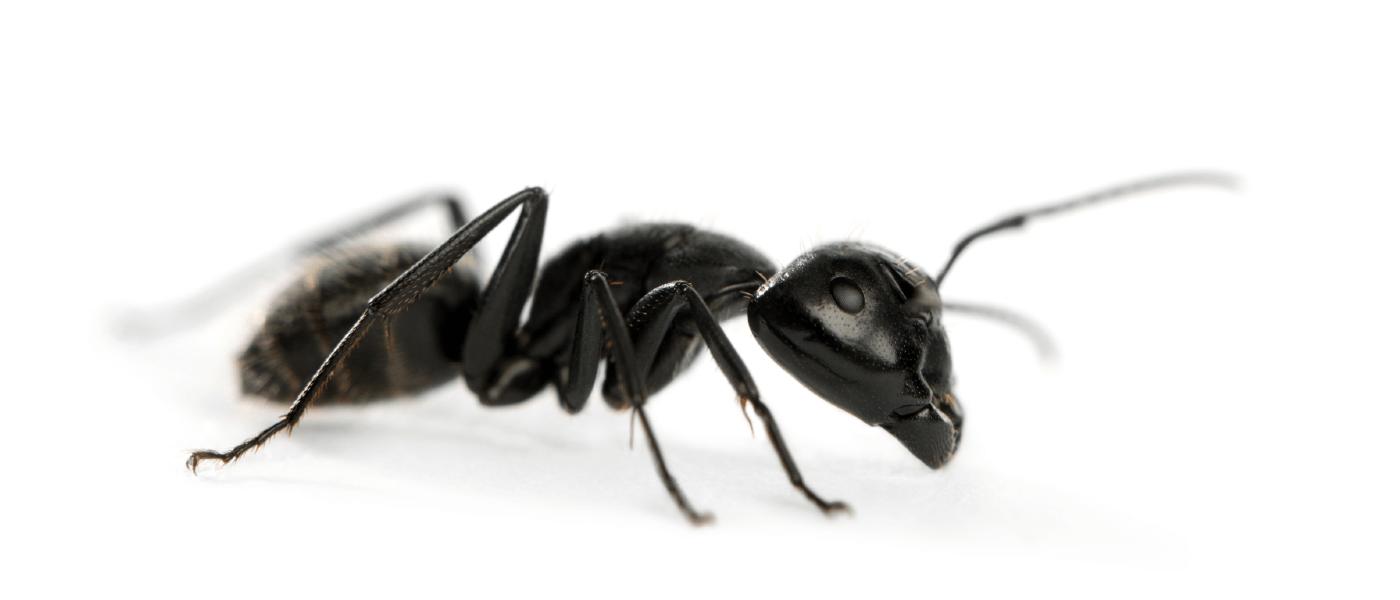 Carpenter Ants The Original Masticists Jp Pest Services
