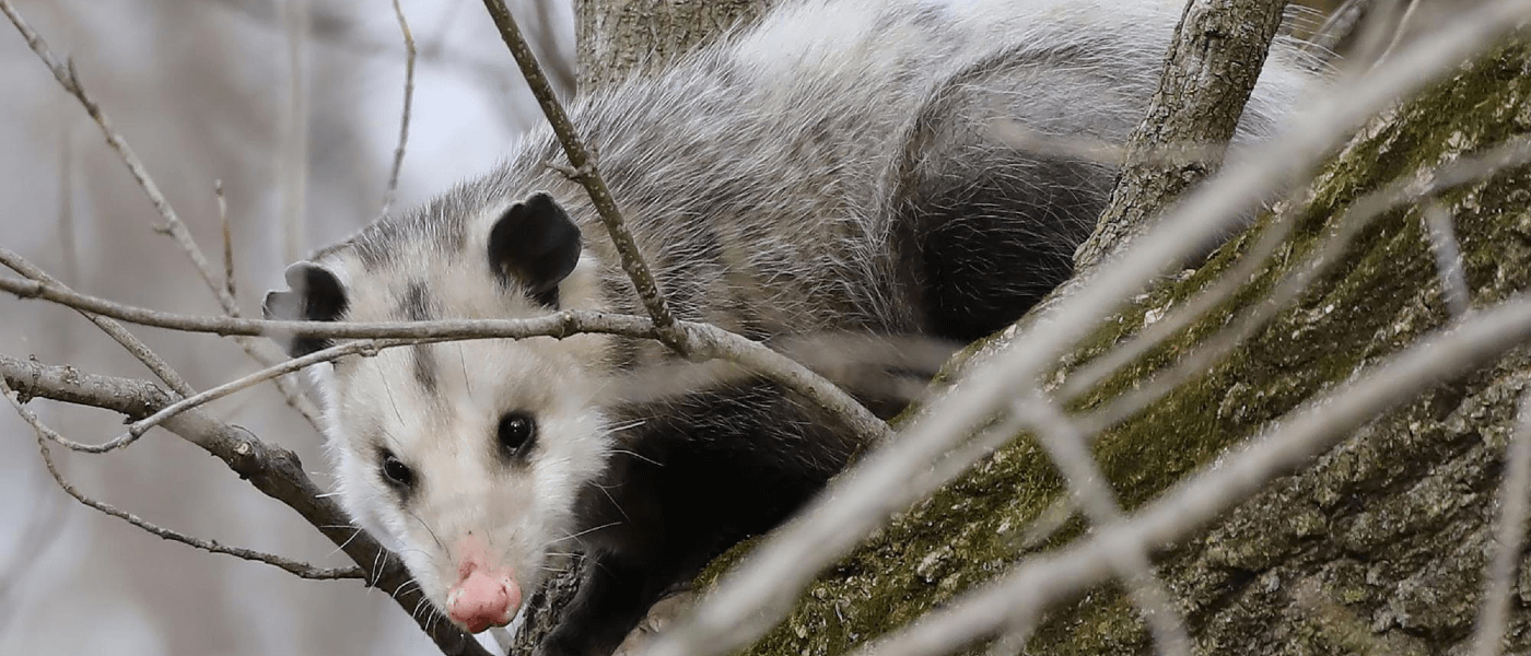 Opossums: Friends or Pests?