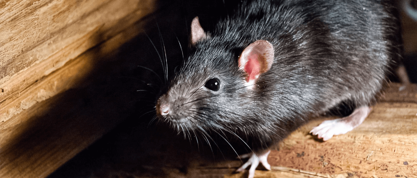 Why Rats Create a Much Bigger Problem Than Mice