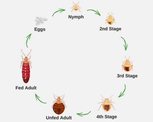 jp-bedbug-life-cycle.jpg