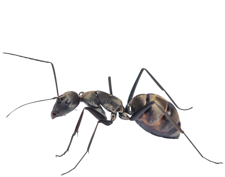 Home Ant Removal Prevention Jp Pest Services