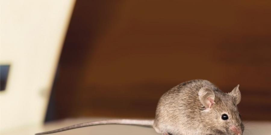 Mice In Your Office? Here's What To Do