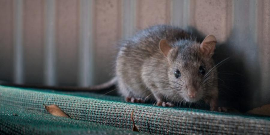 Mice Vs. Rats: How To Spot The Difference