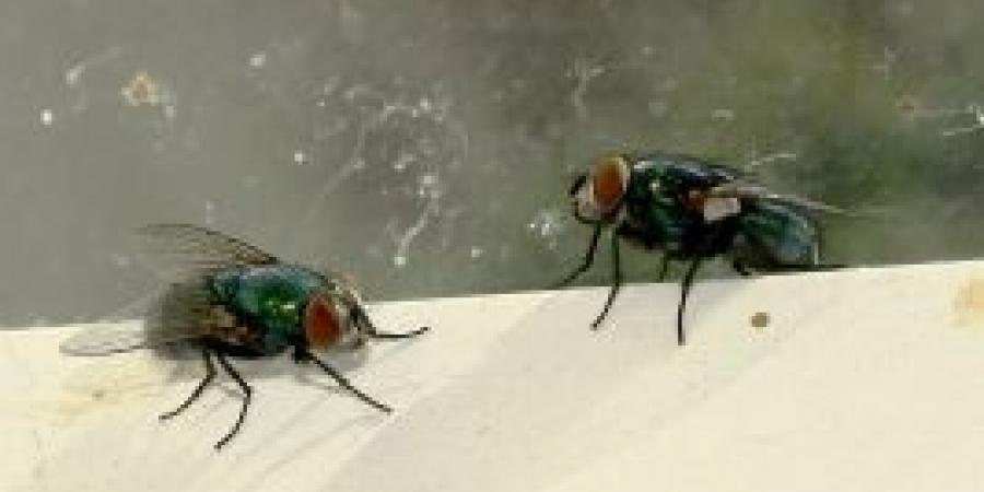 Identifying Common Flies In Your Home Or Business