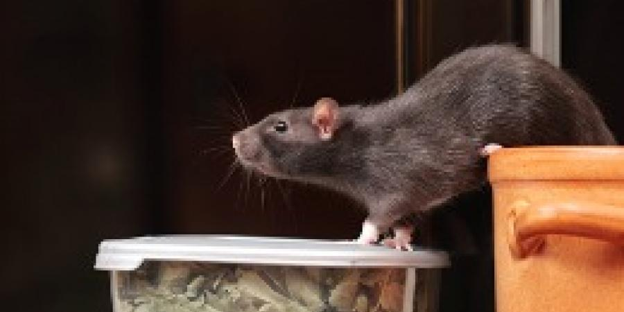 5 Things You Need to Know about Rodents in Commercial Settings