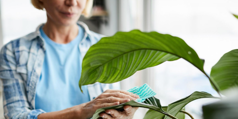 Woman taking care to keep her houseplant free from pests
