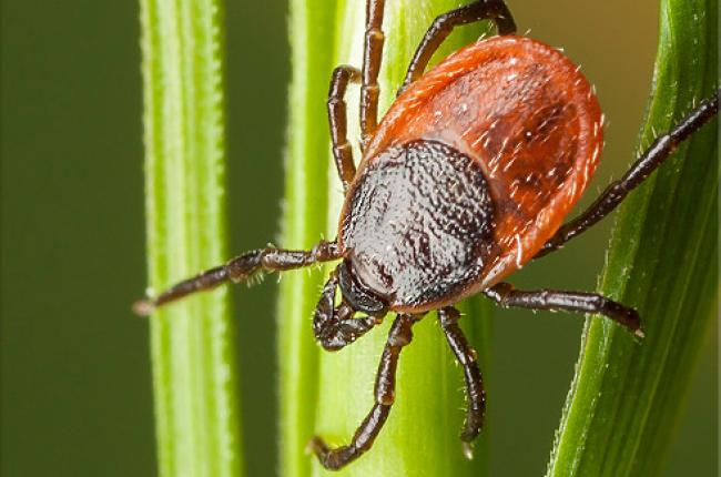 Blacklegged Tick (Deer Tick)
