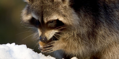 Raccoon eating on a snowy winter day