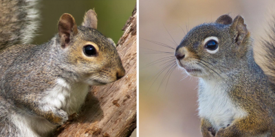 Gray Squirrel vs. Red Squirrel: The Difference Is More Than Fur-Deep