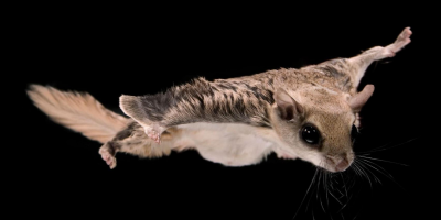 It's a Bird, It's a Plane, Nope, It's a Flying Squirrel