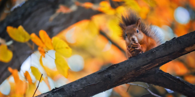 The Autumn Squirrel Surge in New England