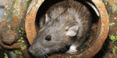 Are Urban Rats the Same as Rural Rats?