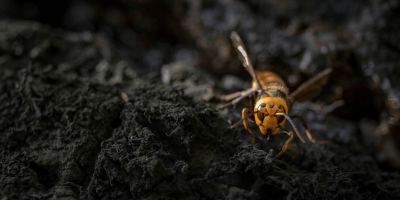 Asian Giant Hornets in the US: Here's the Scoop from the Pros