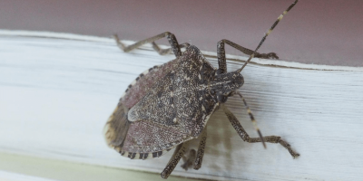 Why Stink Bugs Invade Every Year (And What You Can Do About It)