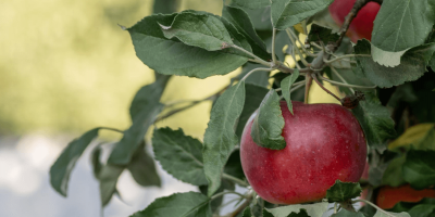Worm in Your Apple? Meet the Top 3 Orchard Pests
