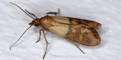 Moths in the Kitchen? Here's What to Do.