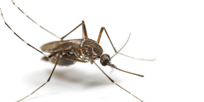 Why Mosquitoes Love Your Ears